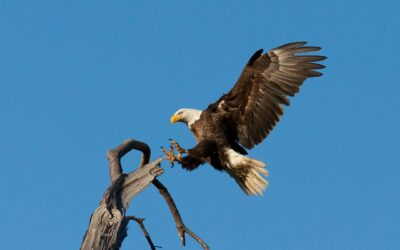 Best Eagle Watching Opportunities This Winter in Illinois
